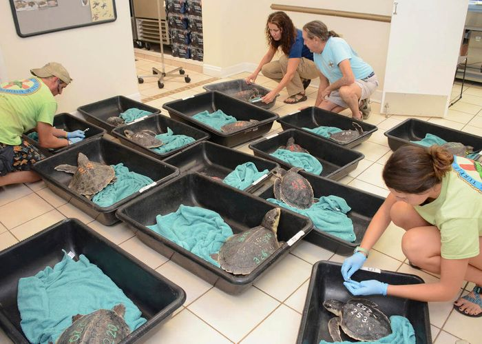Hospital staff tend to the cold-shocked turtles. Photo: The Turtle Hospital