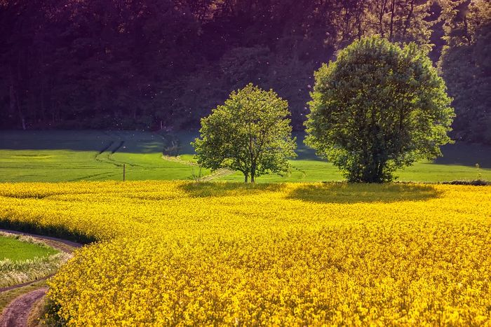 Oilseed rape is a common crop in the UK. Photo: Pixabay