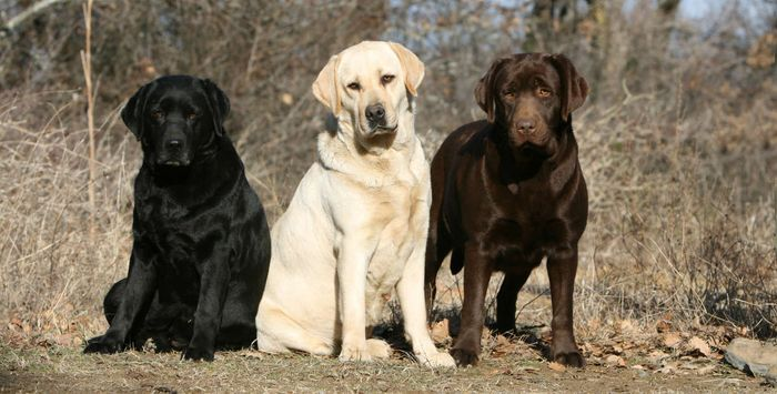 Why do Labradors eat so much and get so fat? Their genes may hold the answer.