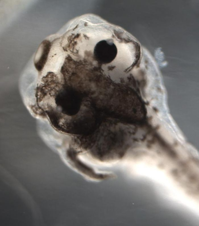 In frog embryos treated by a unique set of reagents chosen by AI, pigment cells in some areas of a single tadpole converted to an invasive, cancer-like form (tissues over the left eye above) while other regions in that tadpole remained normal (tissues over right eye above). This is the first time an artificial intelligence system has been used to discover the exact interventions necessary to obtain a specific novel result in a living organism, giving new insight into the biophysics of cancer. / Credit: Maria Lobikin and Michael Levin of Tufts University.