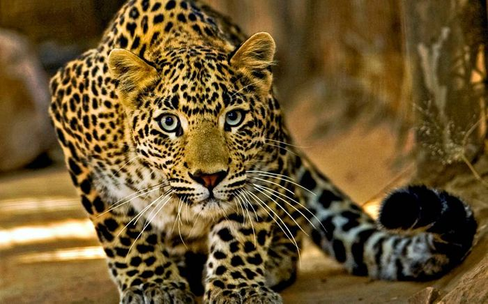 Leopards are losing their habitation space quickly to humans.