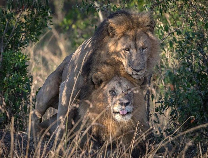 In this picture, a male lion appears to mount another male for unexplained reasons.