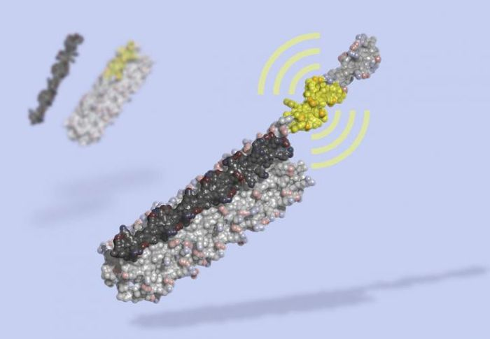 LOCKR is a molecular switch made of multiple interacting parts: a 'key' (black) unlocks a 'cage' (grey), revealing a bioactive peptide (yellow) which can interact with other molecules in the cell. LOCKR, a synthetic protein complex, was computationally designed from scratch, then tested in living cells. / Credit: Ian Haydon, UW Medicine Institute for Protein Design