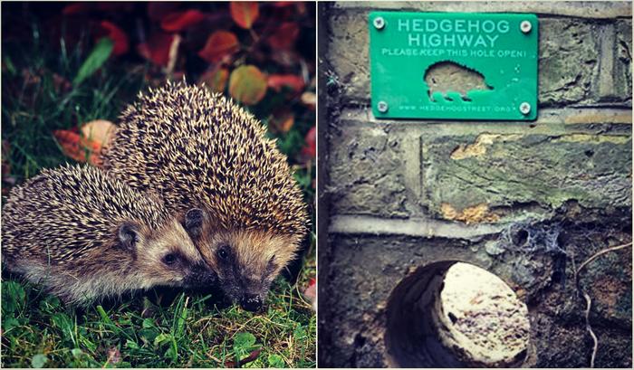 hedgehog and Hedgehog Highway, credit: public domain (1), Hedgehog Street (2)