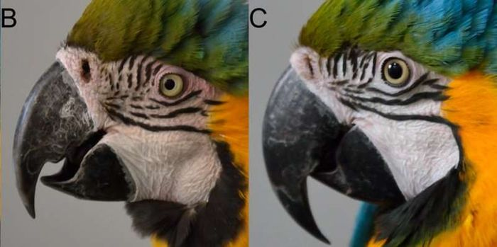 On the left, you see a macaw blushing. On the right, you see a macaw's normal skin tone.