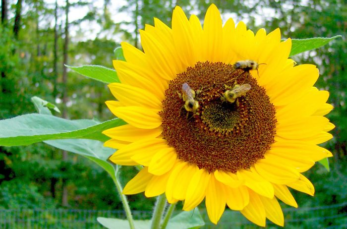 Sunflowers have internal circadian clocks that help them grow and reproduce.