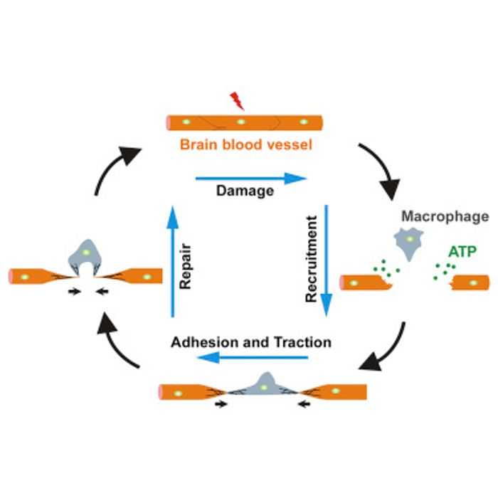 Blood vessel repair process with the help of a macrophage