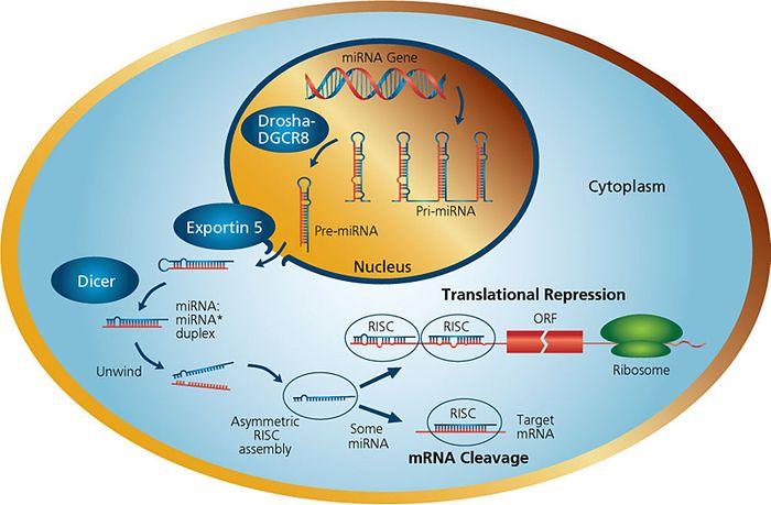 miRNA Biogenesis
