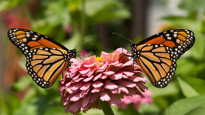 Butterflies are beautiful creatures, although the UK reports that they're experiencing a butterfly shortage.