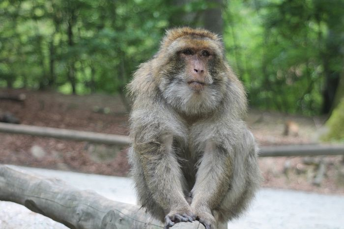 Can rhesus monkeys see faces on inanimate objects? Science says yes.