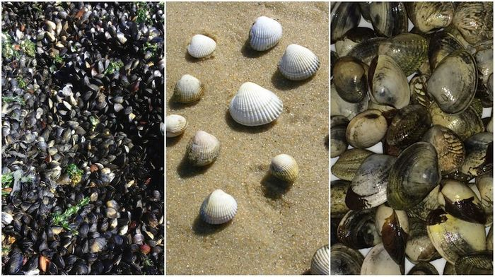 Left to right: 1. Mussels (Mytilus trossulus) at Copper Beach in West Vancouver, Canada 2. Cockles (Cerastoderma edule) collected in the ria of Arousa in Galicia, Spain 3. Golden carpet shell clams (Polititapes aureus) collected in the ria of Arousa in Galicia, Spain