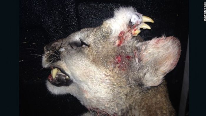 The mountain lion pictured by Idaho Fish and Game.