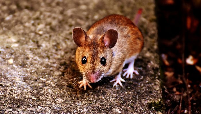 Male mice can be territorial, but certain aspects have an impact on these mechanisms, researchers found.