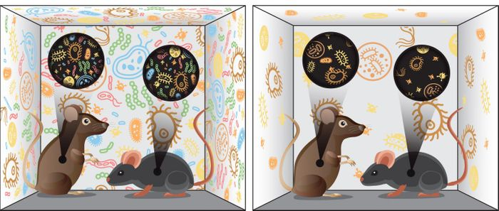 Mice raised in environments with different relative abundances of diverse microbes (left and right) have a correspondingly diverse gut microbiome. These signature characteristics remained even when the mice were moved to a new facility, and they persisted into the next generation. / Credit: Zosia Rostomian/Berkeley Lab