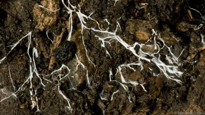 The mycelium of a fungus spreading through soil (Credit: Nigel Cattlin / Alamy)