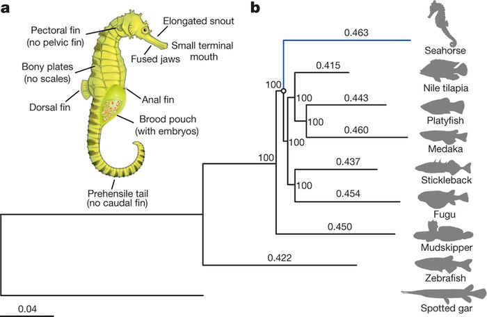 a, Schematic diagram of a pregnant male seahorse. b, The phylogenetic tree generated using protein sequences. The values on the branches are the distances (number of substitutions per site) between each of the teleost fishes and the spotted gar. Spotted gar, Lepisosteus oculatus; zebrafish, Danio rerio. (doi:10.1038/nature20595)