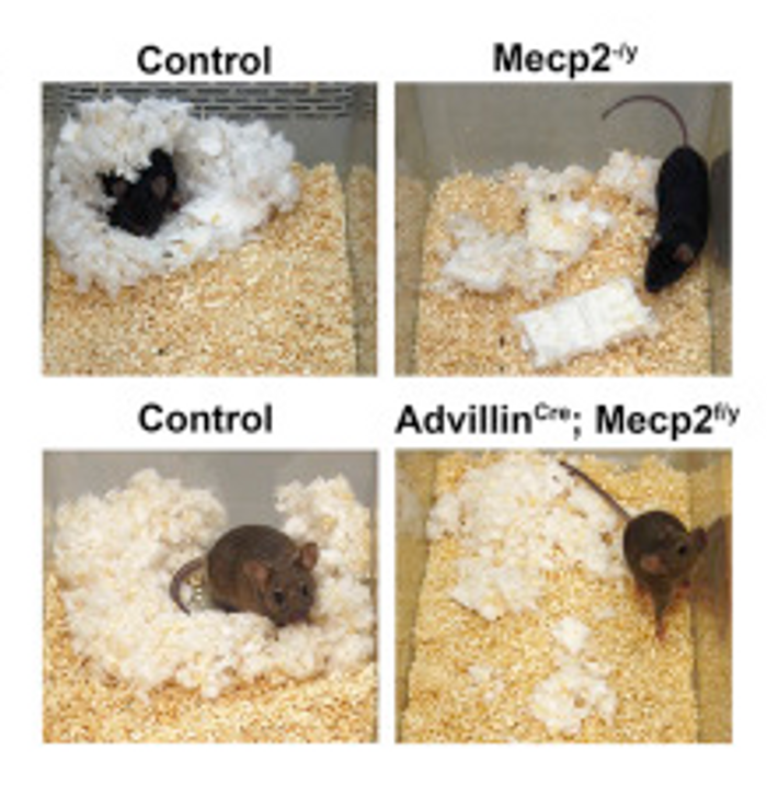 From the study, nest building behavior, a measure of health, welfare and anxiety, is shown for Mecp2?/y and AdvillinCre; Mecp2f/y mutant mice and control littermates.
