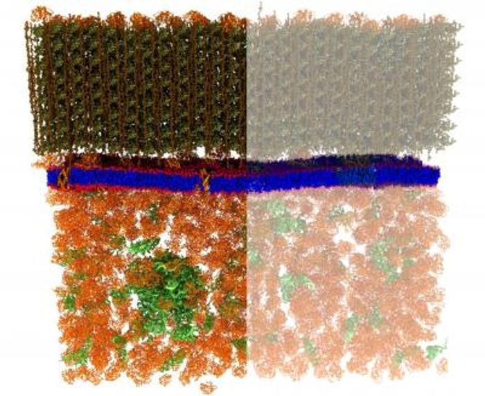 Neutron scattering is a valuable technique for studying cell membranes, but signals from the cell's other components such as proteins, RNA, DNA and carbohydrates can get in the way (left). An ORNL team made these other components practically invisible to neutrons by combining specific levels of heavy hydrogen (deuterium) with normal hydrogen within the cell. / Credit: Xiaolin Cheng and Mike Matheson, Oak Ridge National Laboratory/Dept. of Energy
