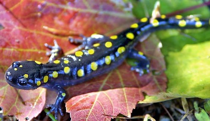 The aptly named yellow-spotted salamander.