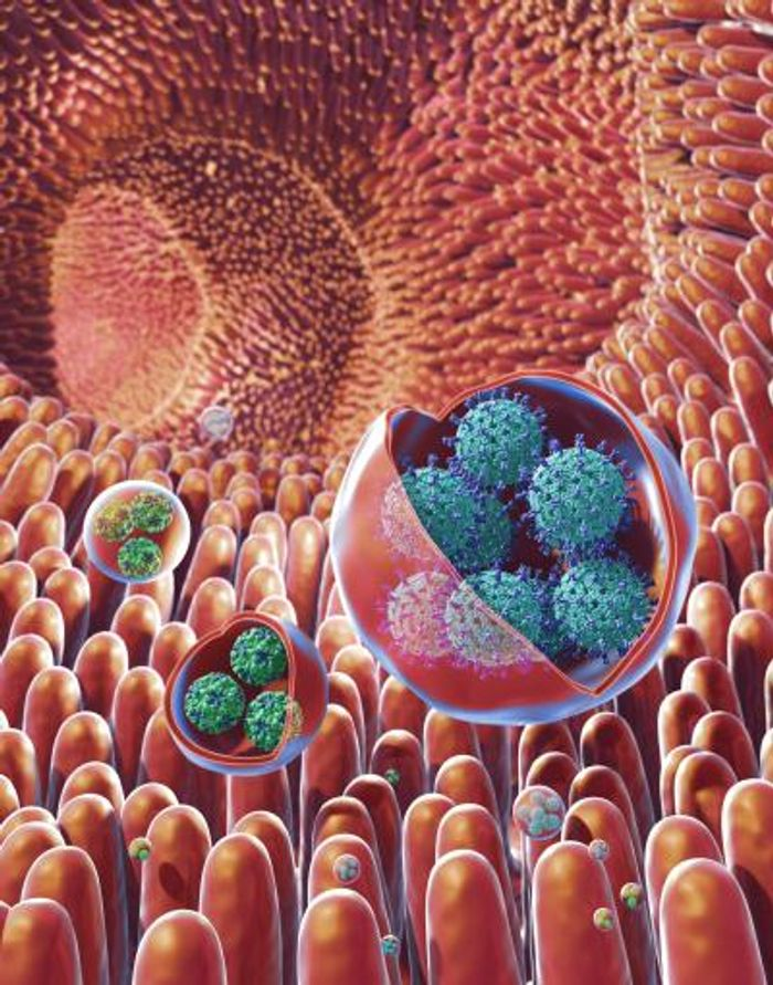 This is an illustration of membrane-bound vesicles containing clusters of viruses, including rotavirus and norovirus, within the gut. Rotaviruses are shown in the large vesicles, while noroviruses are shown in the smaller vesicles. / Credit: NIH