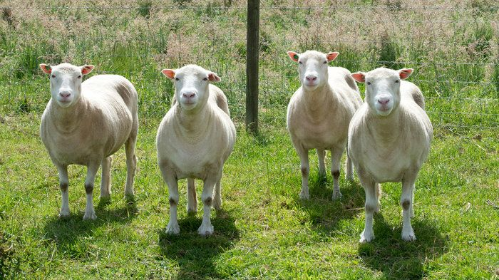 Nine cloned sheep are living normal lives, at their full expectancy.