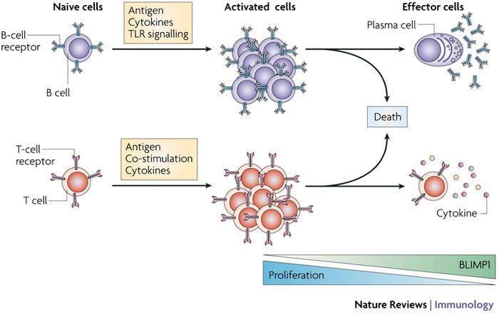 Blimp1's Role in Adaptive Immunity