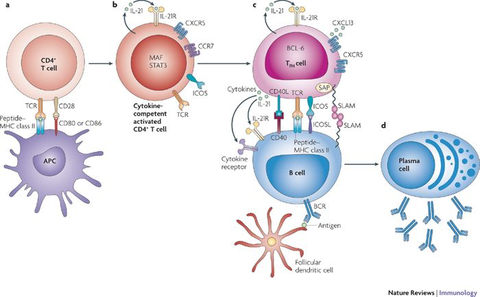 Differentiation and function of T follicular helper cells