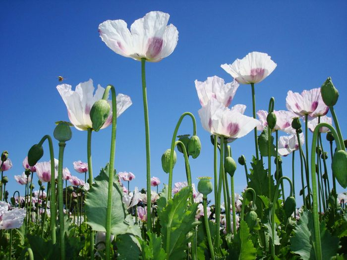 Scientists have sequenced the opium poppy genome, providing insight into how the plant produces compounds that are used to make medicine. It paves the way for improving this plant's husbandry, securing a reliable, cheap supply of the drugs it creates. / Credit: Carol Walker