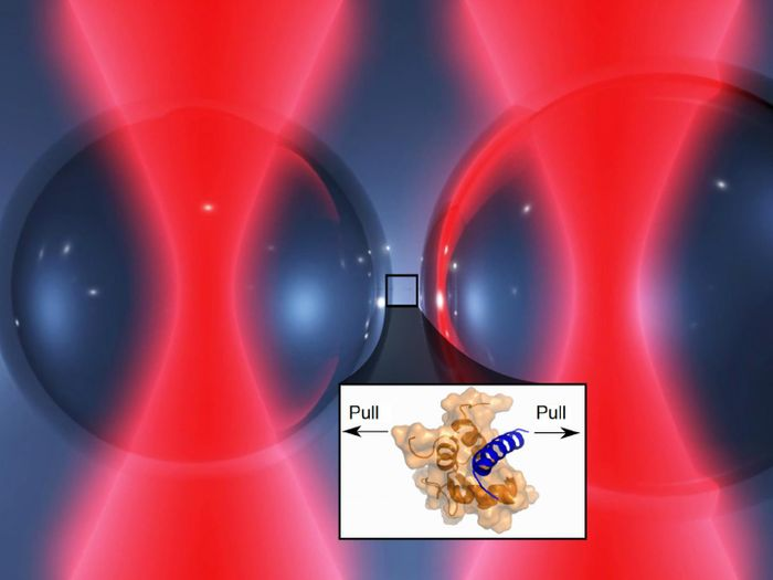 Two laser beams hold tiny glass beads in a position very close to each other. One end of the protein complex is fixed on the surface of the left brad, the other end on the right. If the laser moves the glass beads apart, the protein molecules are forced to stretch and the forces can be measured. Credit: Marco Grison / TUM