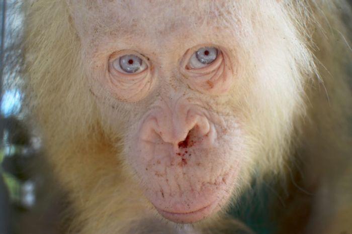 The leucistic female orangutan had light hair and blue eyes, unlike most.