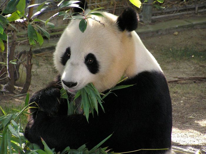 The oldest giant panda in captivity has passed away this week at age 37.