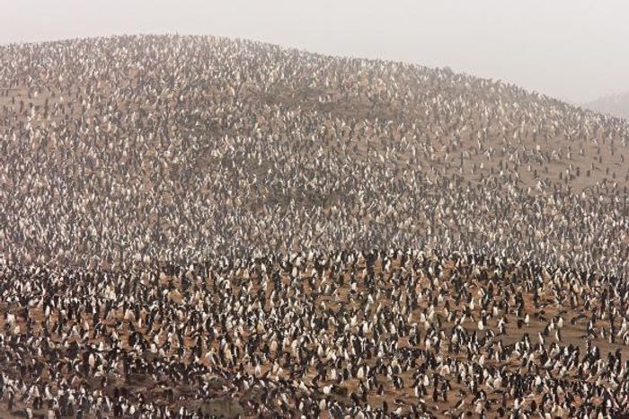 The chinstrap penguin colony on Zavodovski Island is one of the largest penguin colonies on Earth, shown here before the eruption.  PHOTOGRAPH BY MARIA STENZEL, NATIONAL GEOGRAPHIC CREATIVE