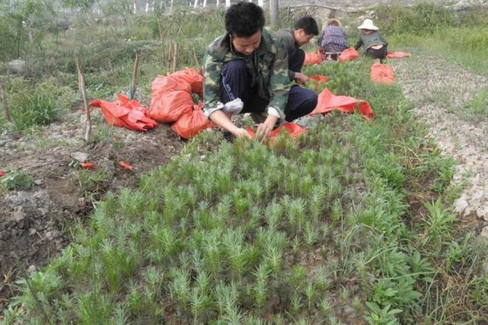Reforestation efforts incentivize monoculture plantations. Photo: OISCA International
