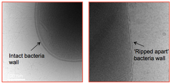A bacterial cell before (left) and after (right) treatment with the star-shaped polymer