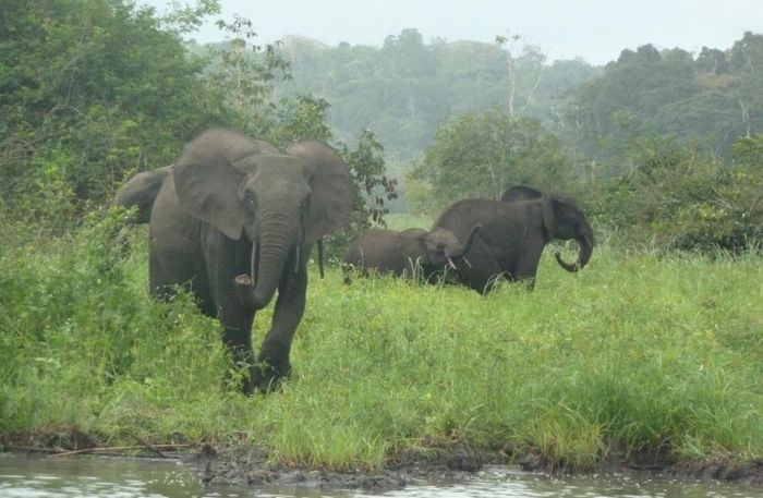 Elephant poaching does more to the surrounding ecosystem than initially thought.