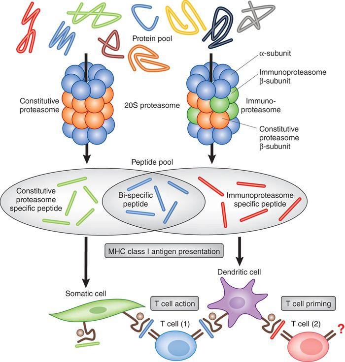 Immunoproteasome Function of the Adaptive Immune System