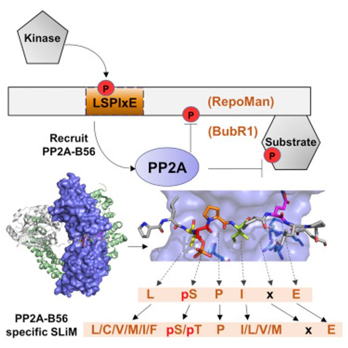 Graphical abstract: Structure Wang et al 2016. Crystal structures of PP2A B56 complex with phosphorylated RepoMan and BubR1. The PP2A-B56 specific short linear motif is L-pS-P-I-x-E. Over 100 proteins that likely bind PP2A were identified via this motif.