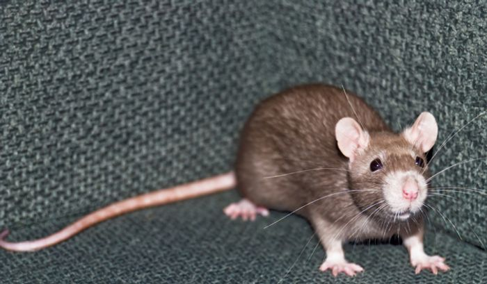Even the humble rat appears to be smart enough to use tools to perform complex tasks.