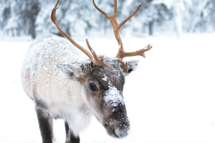 Reindeer are reportedly shrinking in size due to climate change.