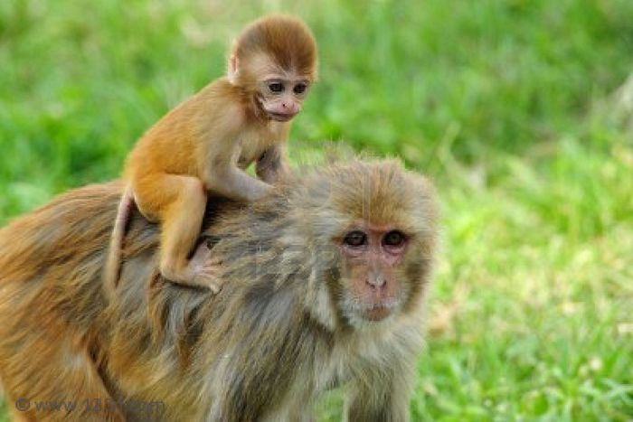 A Rhesus macaque and her baby