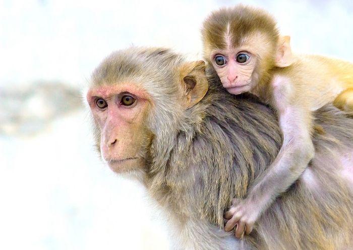 Rhesus monkeys / Credit: Max Pixel