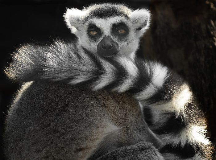 Ring-tailed lemurs are unique in the way they look. Their bushy tails might even serve as a way to attract mates.
