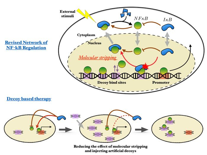 The recently discovered process of molecular stripping (top) shows how nature has evolved to cope with regulating master transcription factors like NFkB that engage in pervasive genome-wide binding. Rice University researchers have proposed a revised model, bottom, of the NFkB regulatory network that suggests novel strategies for more effective decoy therapy. / Credit: Wolynes Research Lab/Rice University