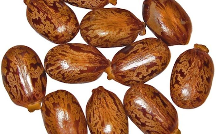 Ricinus communis, Euphorbiaceae, Castor oil seeds / Credit: Wikimedia/H Zell