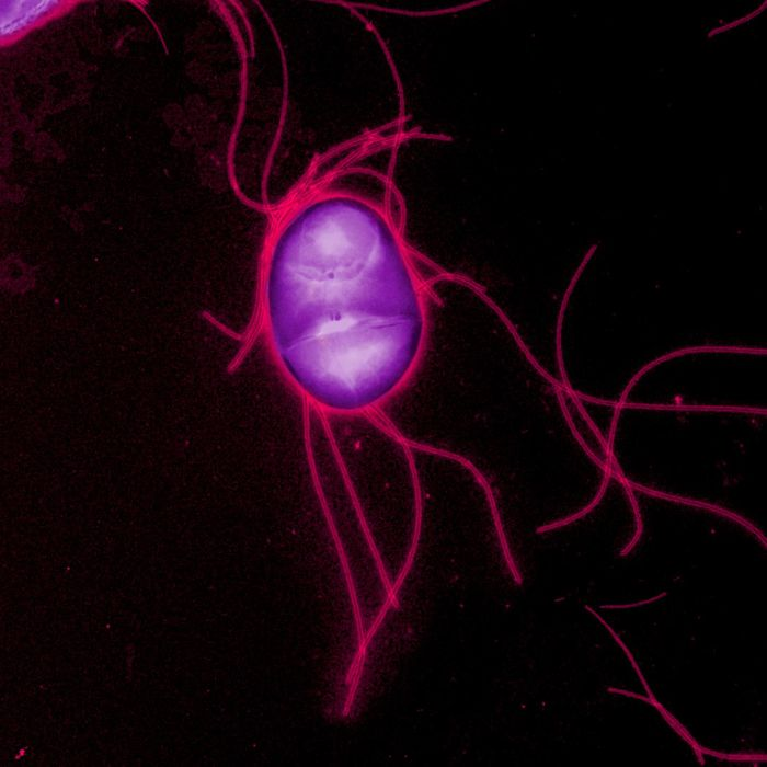 A Salk Institute study shows how Salmonella Typhimurium blocks the appetite loss response in hosts to both make the host healthier and promote the bacteria's survival and transmission. / Credit: Salk Institute