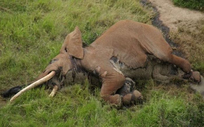 Satao II's carcass was found in Kenya, luckily with the ivory tusks still attached.