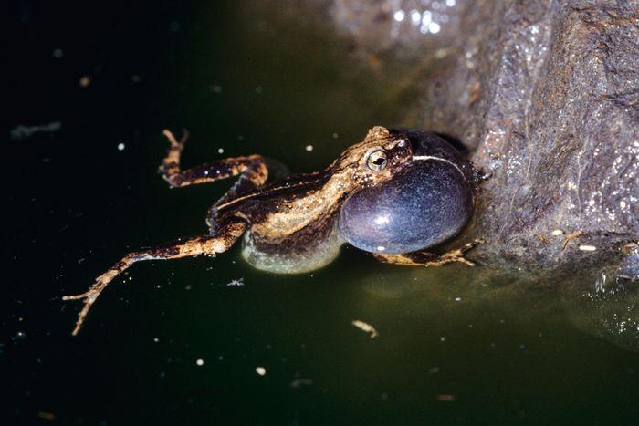 A tungara frog making its famous 'tun gara gara' mating call.