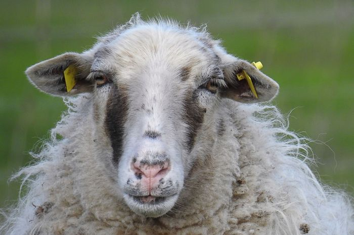 At least 500 sheep have been employed at Casa de Campo to help clean up the excess undergrowth.