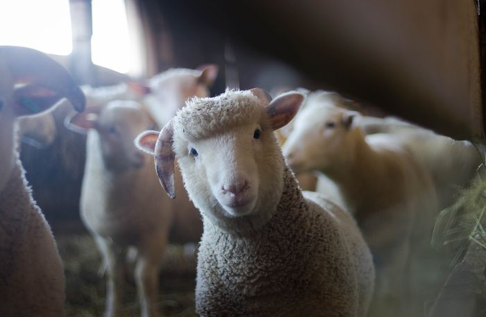 Sheep can recognize your face if they spend enough time around you.