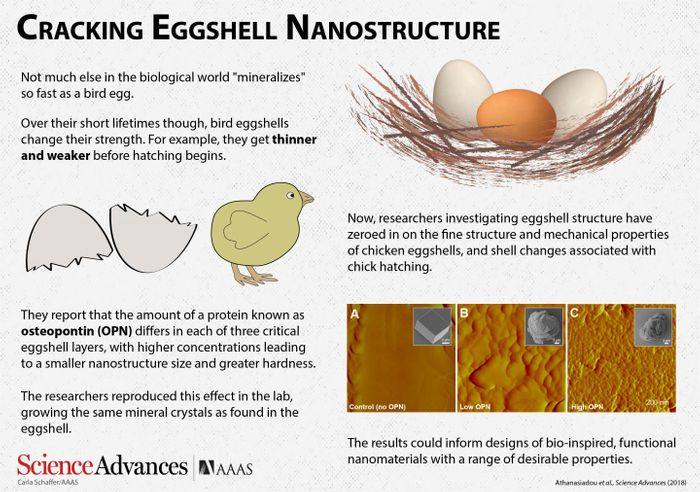 Over their short lifetimes though, bird eggshells change their strength. For example, they get thinner and weaker before hatching begins. Now, researchers investigating eggshell structure have zeroed in on the fine structure and mechanical properties of chicken eggshells, and shell changes associated with chick hatching. / Credit: Carla Schaffer/ AAAS